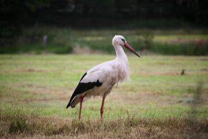 Storken i Rodewolde, Groningen