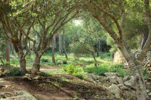 Smukke oliven træer