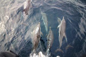 Delfinerne vil gerne lege når det vindstille